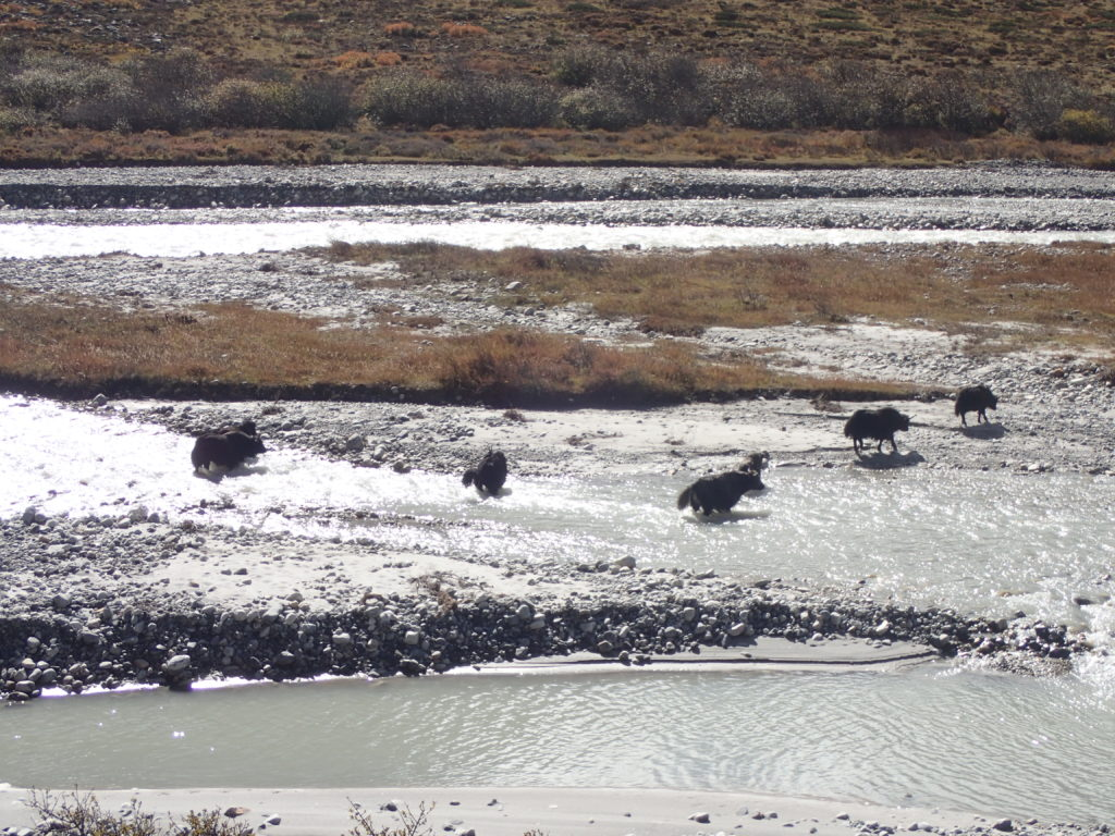 Yaks crossing the same river